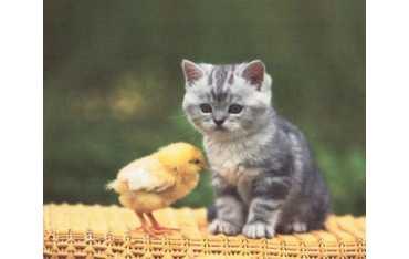 Ściereczka mikrofazowa - kociak z kurczakiem